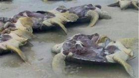 馬來西亞海龜遭剖腹取卵,綠蠵龜(圖/翻攝自《New Straits Times Online》)