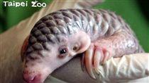 穿山甲寶寶/台北市立動物園臉書