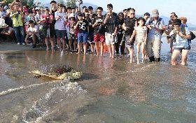 斷臂綠蠵龜奔向大海(2)