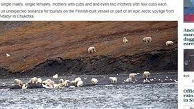 俄羅斯,弗蘭格爾島,Wrangel Island,北極熊(圖/翻攝自《西伯利亞時報》 http://siberiantimes.com/other/others/features/lunch-arrives-on-wrangel-island-and-230-polar-bears-show-up-for-the-feast/