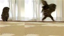 16:9 不只會飛!貓頭鷹還有雙大長腿 跑步姿勢超滑稽 圖/翻攝自kedama_hoihoi Twitter https://twitter.com/kedama_hoihoi/status/912314720396251136