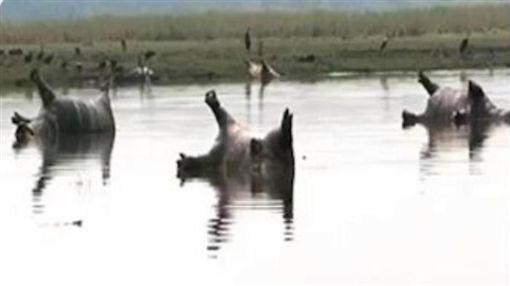 非洲納米比亞,巴布瓦塔國家公園,河馬,死亡,屍體(圖/翻攝自推特) ID-1090084