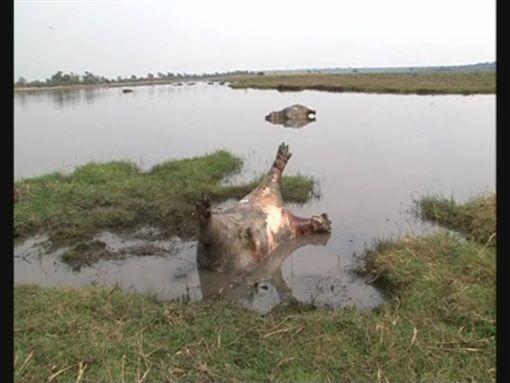 非洲納米比亞,巴布瓦塔國家公園,河馬,死亡,屍體(圖/翻攝自推特) ID-1090085