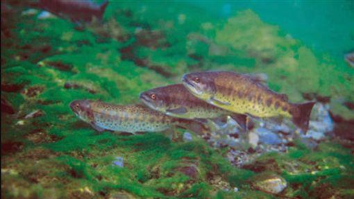 櫻花鉤吻鮭,台灣鮭魚(維基百科 https://zh.wikipedia.org/wiki/%E6%AB%BB%E8%8A%B1%E9%89%A4%E5%90%BB%E9%AE%AD#/media/File:Oncorhynchus_masou_formosanus.jpg)