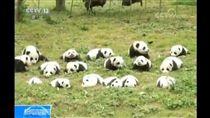熊貓,貓熊,寶寶 圖/翻攝自央視網