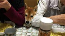 柴犬,柴柴,貪吃,寵物,毛小孩 圖/翻攝自推特@04120hiyoko