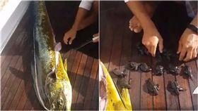 海龜,釣魚,天敵,大自然,適者生存,肚子,出世,長大,海洋 圖/翻攝自Liveleak https://goo.gl/qDxP4L