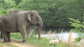 友誼不分「物種」!美國南方田納西州有一隻母象塔拉(Tarra)和母狗貝拉(Bella),2隻動物如好姐妹般,感情相當要好,不料某日貝拉遭土狼咬死,塔拉知情後相當難過,用著象鼻緩緩將貝拉運回來。(圖/翻攝自《elephantsanctuarytn》YouTube)