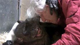 59歲黑猩猩瑪瑪(Mama),臨死前仍不忘40年前認識的人類好友霍夫(Jan van Hooff),瑪瑪看到霍夫前來探望牠,不僅露出淺淺微笑,還伸手撫摸霍夫,似乎在跟他說,「等好久,你終於來了…」(圖/翻攝自YouTube《Jan A R A M van Hooff》)