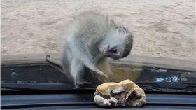 Peter Koen,長尾黑顎猴,猴子,漢堡,南非,iSimangaliso Wetland Park 圖/翻攝自YouTube
