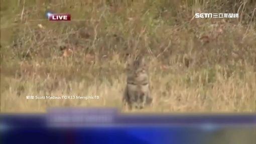 記者被貓騙! 連線罕見美洲獅出沒
