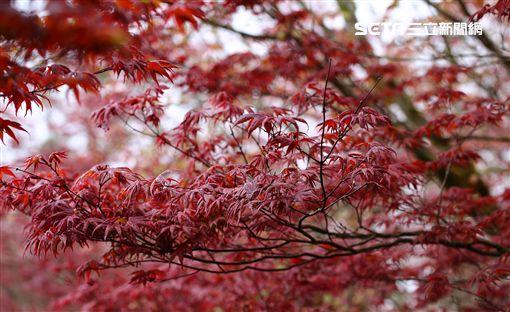 享受秋天幸福氣息 浪漫步道輕旅行 林務局提供