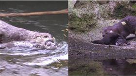 水獺,游泳,媽媽,孩子,Oregon Zoo 圖/翻攝自臉書
