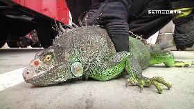 吃掉綠鬣蜥1200