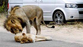 南非,交配,搞笑,攝影,拍照,獅子,國家公園 圖/翻攝自太陽報