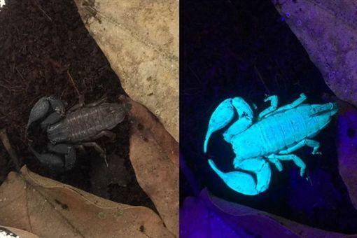 國際,澳洲,生物,新奇,蠍子,昆蟲,紫外線光,發光 圖/翻攝自abc