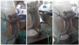 印度,老鼠,虐待,鞭打(圖/翻攝自YouTube)