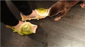 水獺,魚拖鞋,寵物,,拖鞋,love_otter_love 圖/翻攝自推特