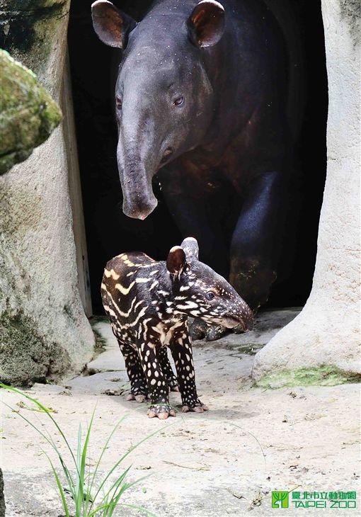 ▲馬來貘小時候的毛為棕色。(圖/翻攝自《台北市立動物園》官網)