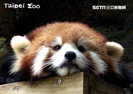 小貓熊,美可,台北市立動物園,取名,動物園