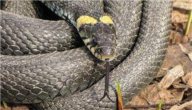 球蟒,蛇,蟒蛇,德國,Darmstadt,褲子,酒醉 圖/pixabay