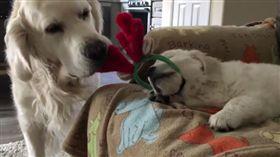 黃金獵犬,狗,毛小孩(圖/翻攝Instagram tuckerandanniewhitegoldens)