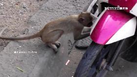 猴偷喝汽油1200