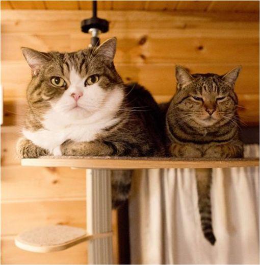 貓咪,毛孩,喵星人,出場,沙發,maruhanamogu 圖/翻攝自Ig