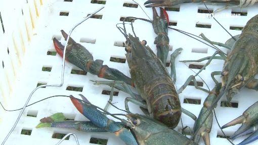大閘蟹退燒! 改養澳洲小龍蝦成新寵