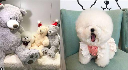 毛孩,狗,剪毛,剃毛,比熊犬,睡覺,打瞌睡 圖/翻攝IG