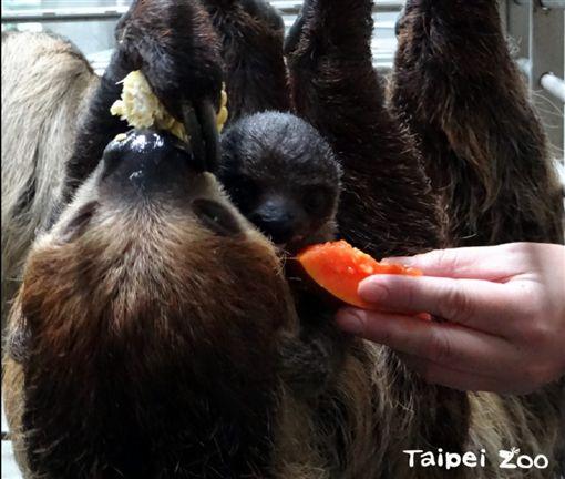 樹懶寶寶「葉靛」。(圖/翻攝自台北市立動物園)