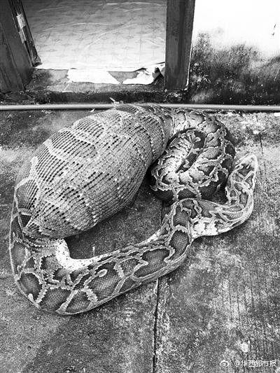 蟒蛇吞山羊,消化不良死亡(微博)