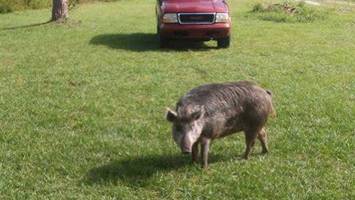 美國,野豬,擅闖民宅,野生動物,警方,佛羅里達州