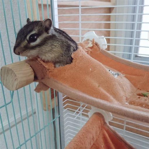 ▲日本網友上傳了他的寵物鼠的可愛影片
