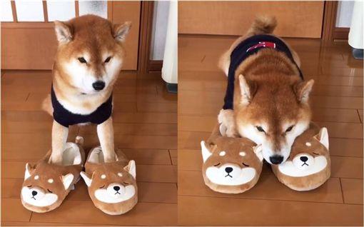 柴犬,拖鞋,毛孩,狗,汪星人 圖/翻攝自IG