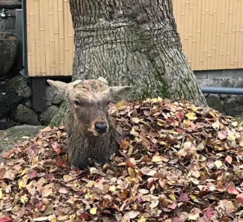 鹿躺落葉堆取暖 網友:怎麼鑽進去的