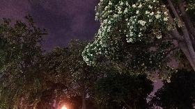 黑板樹開花飄怪味