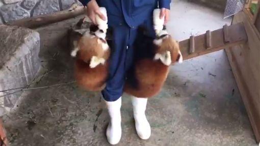 放飯時間到!小貓熊同步飛撲飼育員 抱奶瓶狂吸萌暈網友