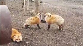 狐狸,吵架,嘶吼,咆嘯 圖/翻攝自臉書