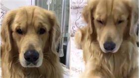 毛孩,黃金獵犬,阿金,狗,醜八怪 圖/翻攝自臉書