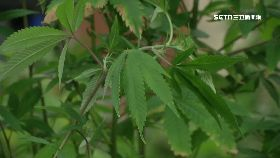 阿根種大麻1800