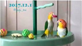 鸚鵡,瓶蓋,打鬧,屁孩,鳥 圖/翻攝自推特