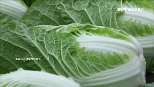 白菜葉上小黑點 其實富含抗老化多酚
