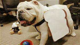 校園吉祥物鬥牛犬。(圖/翻攝自Bryant University Mascot Tupper臉書)