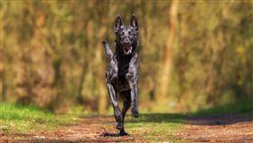 小狗,黑狗,狗,草地,奔跑(圖/pixabay)