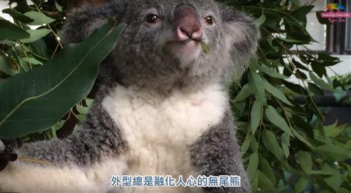 一向給人溫馴慵懶形象的無尾熊也會暴走!台北市立動物園有無尾熊「Q仔」,因不想回籠突然生氣,變身成「功夫無尾熊」攻擊保育員。「Q仔」最後被制伏後,保育員趕緊拿尤加利葉給它,成功化解了這場「Q仔」的逆襲!。(圖/翻攝自YouTube《臺北市立動物園》)