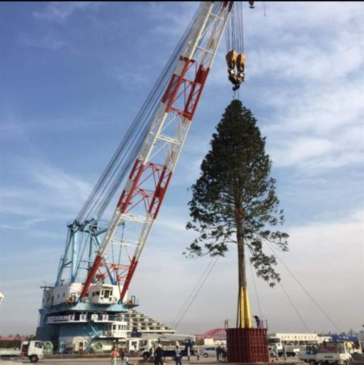 被移植的百年老樹(圖/翻攝自推特)