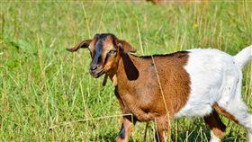 羊,畜牧 圖翻攝自pixabay https://pixabay.com/zh/%E5%B1%B1%E7%BE%8A-%E4%B8%BB%E8%A7%92-geiss-%E5%B0%8F%E5%AD%A9%E5%AD%90%E4%BB%AC-%E7%89%A7%E5%9C%BA-%E8%8D%89%E5%9C%B0-%E7%89%B2%E7%95%9C-%E7%95%9C%E7%89%A7%E4%