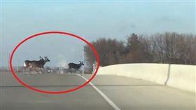 美國愛荷華州有一名女子維爾休斯(Catherine Veerhusen),日前開車驚見4隻鹿「跳橋自殺」,一隻接一隻墜地身亡,讓她傻眼直呼,「我從沒看過這樣的事…」保育人士則表示,鹿群會對陌生環境恐慌,加上近期是狩獵季節,才會導致牠們失去方向感。(圖/翻攝自YouTube《ZippyZip》)