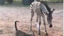 斑馬寶寶後腳傷殘 術後勇敢站起來!